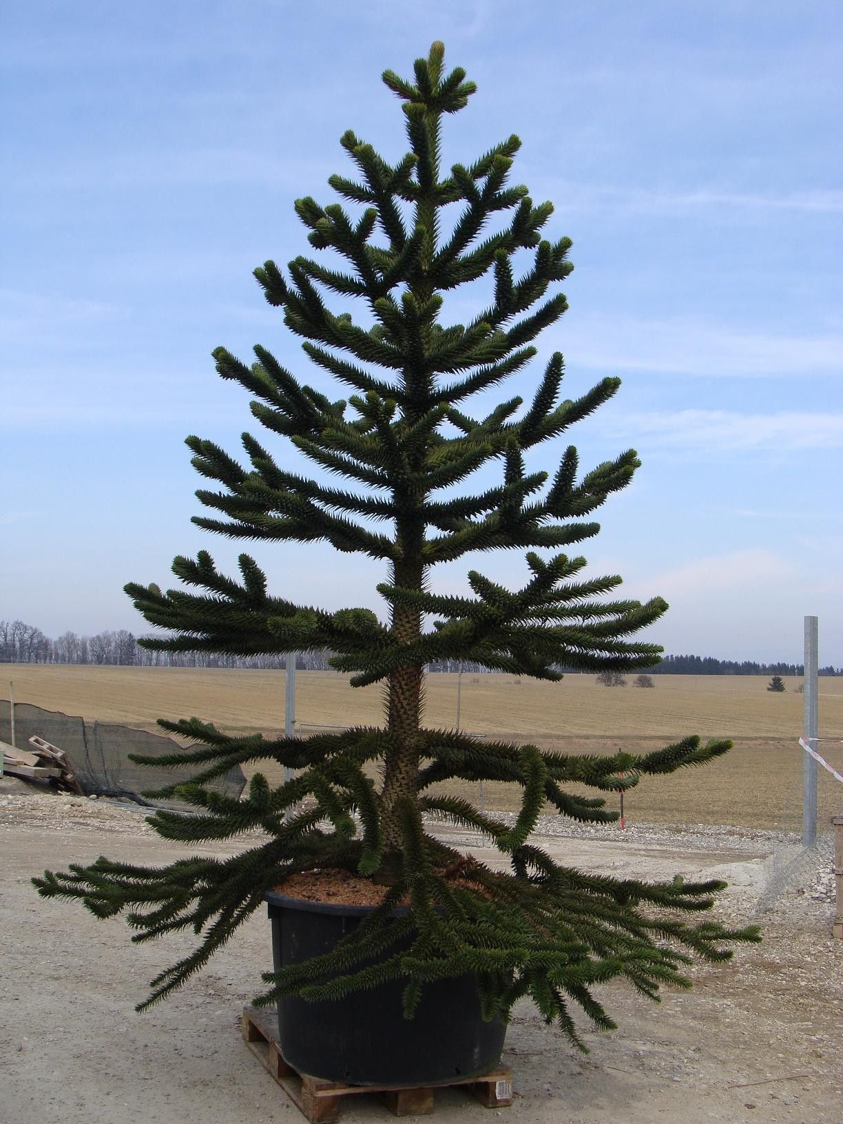 monkey puzzle tree planting guide