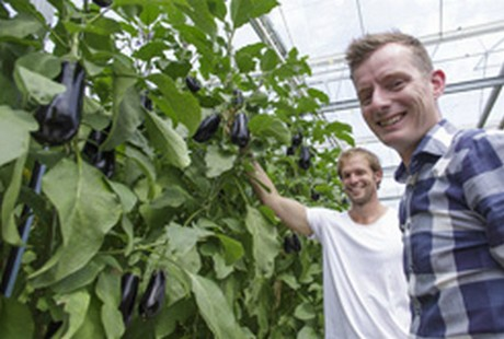 guide to commercial eggplant production