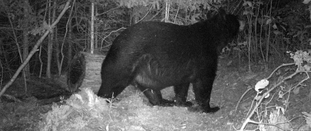 semi guided black bear hunts