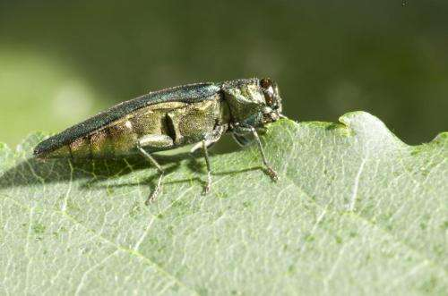 a visual guide to detecting emerald ash borer