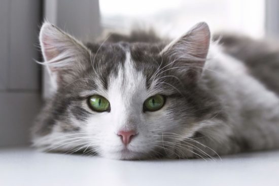 zoomer kitty eye color guide