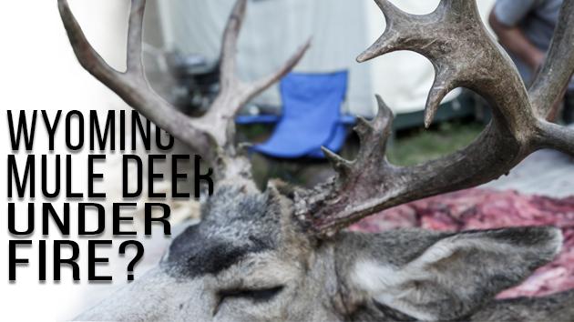 wyoming guided mule deer hunts