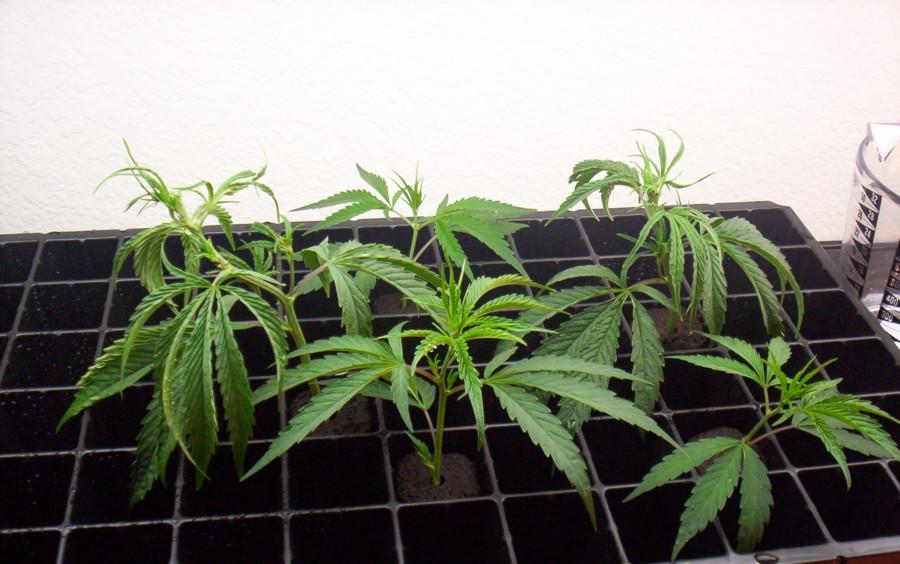 guide to growing marijuana indoors