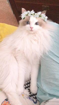 ragdoll kitten care guide pdf