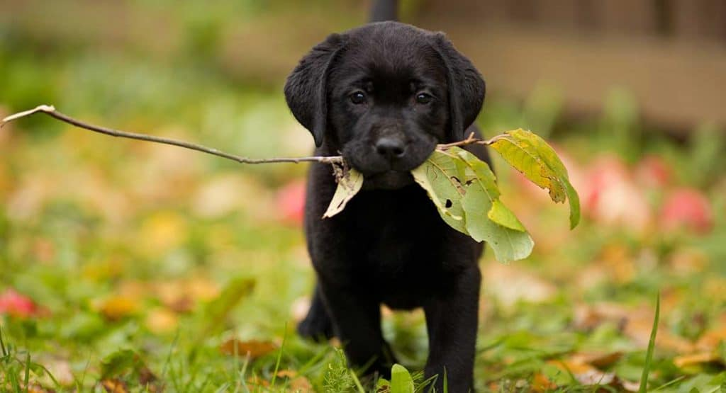 why are labradors used as guide dogs